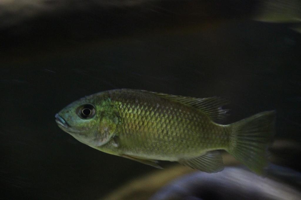 Sarotherodon knauerae Neumann, (Stiassny & Schliewen, 2011) Img-2094