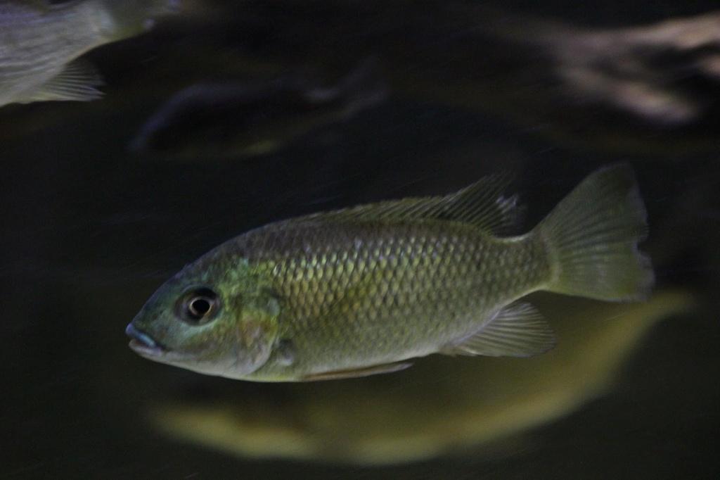 Sarotherodon knauerae Neumann, (Stiassny & Schliewen, 2011) Img-2098