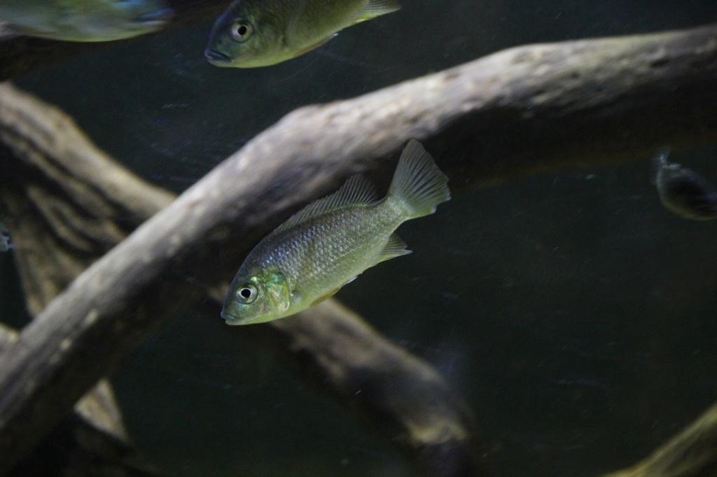 Sarotherodon knauerae Neumann, (Stiassny & Schliewen, 2011) Img-2099