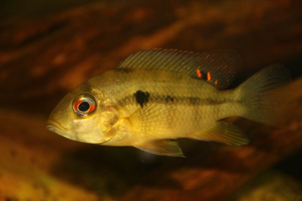 Heterochromis multidens  (Pellegrin, 1900) - Página 2 Img-2119