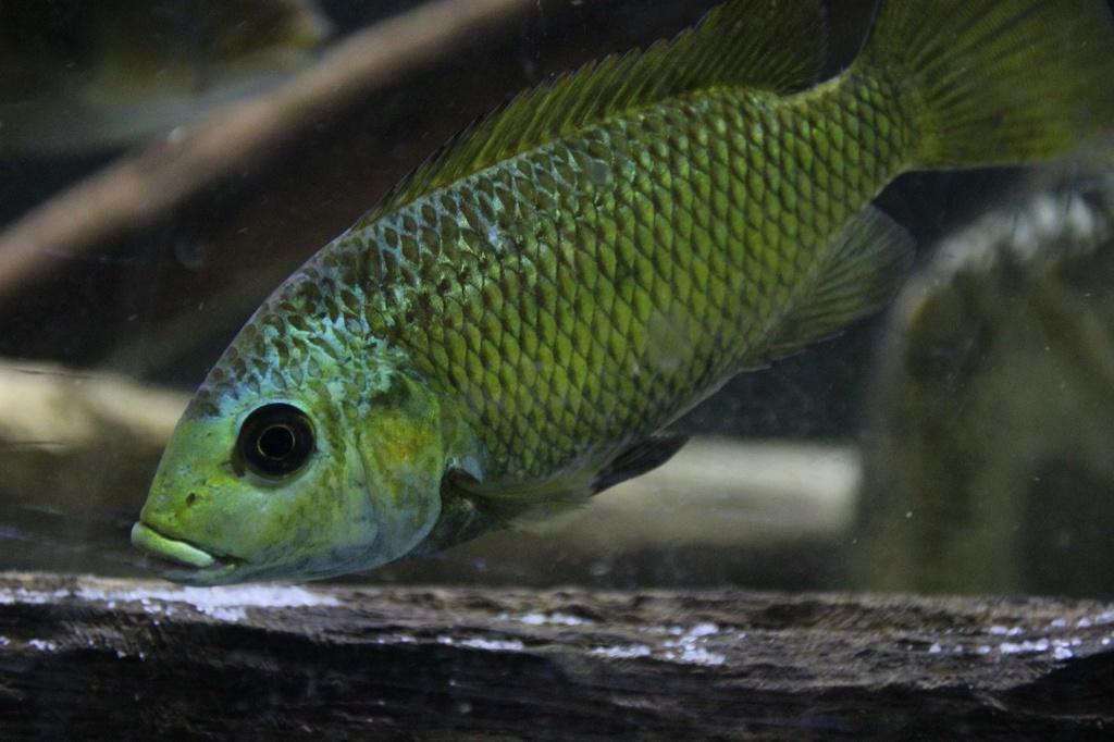 Sarotherodon knauerae Neumann, (Stiassny & Schliewen, 2011) Img-2153