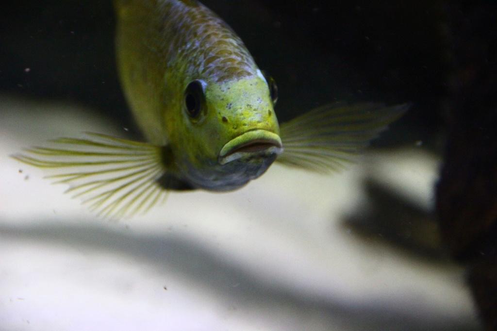 Sarotherodon knauerae Neumann, (Stiassny & Schliewen, 2011) Img-2154