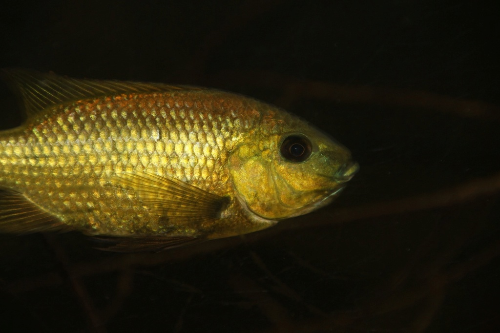 Sarotherodon knauerae Neumann, (Stiassny & Schliewen, 2011) - Página 2 Img-2184