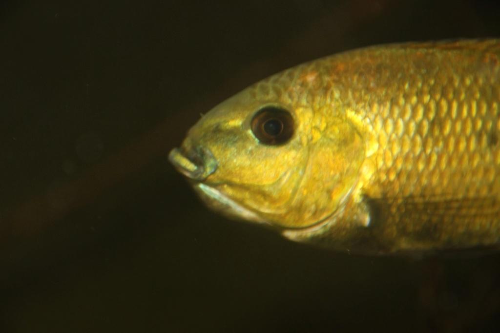 Sarotherodon knauerae Neumann, (Stiassny & Schliewen, 2011) - Página 2 Img-2188