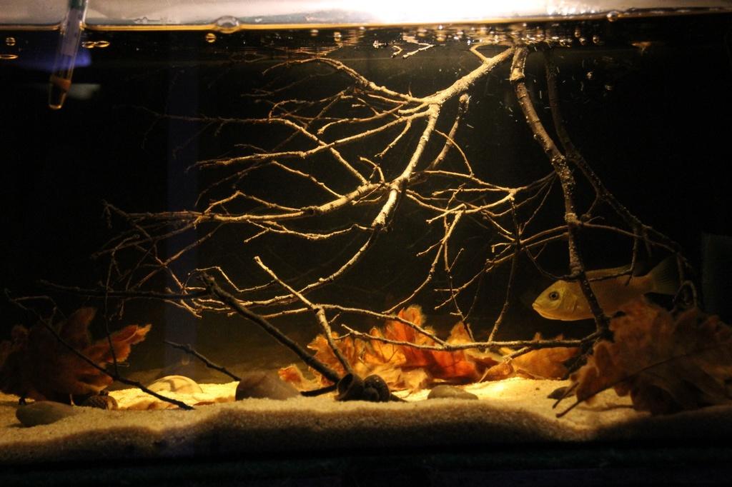 Sarotherodon knauerae Neumann, (Stiassny & Schliewen, 2011) - Página 3 Img-2214