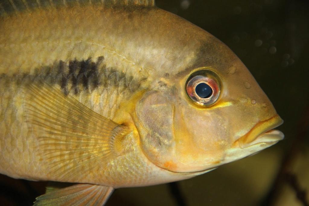 Heterochromis multidens  (Pellegrin, 1900) - Página 2 Img-2225