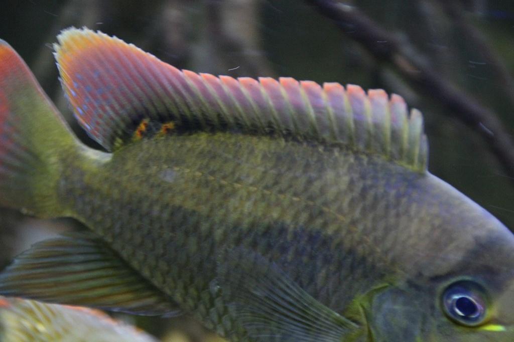 West African biotope Aquarium - 600 Liters - Página 2 Img-2227