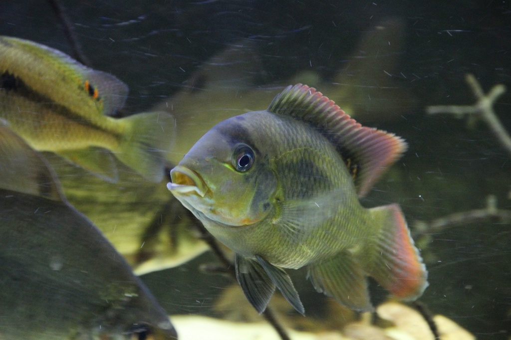 West African biotope Aquarium - 600 Liters - Página 2 Img-2228