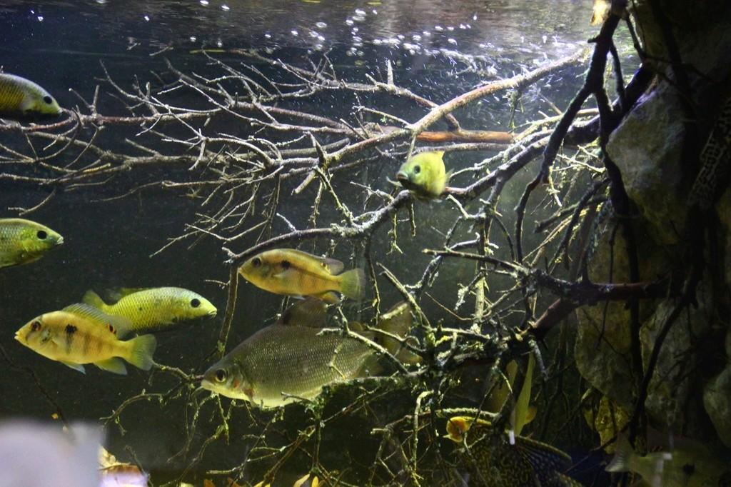West African biotope Aquarium - 600 Liters - Página 2 Img-2230