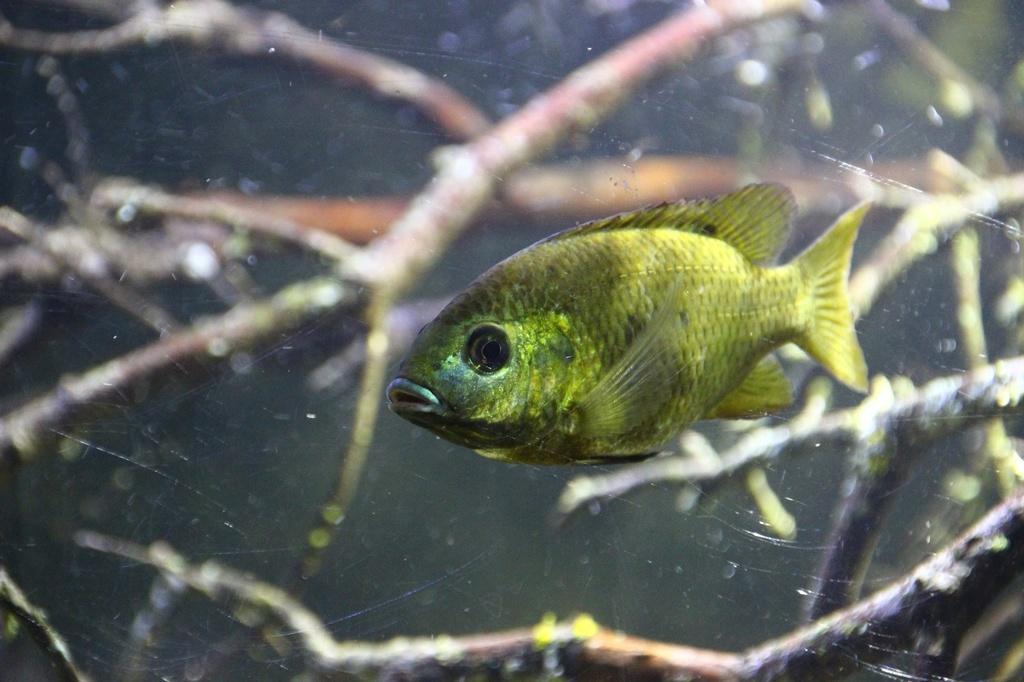 West African biotope Aquarium - 600 Liters - Página 2 Img-2232