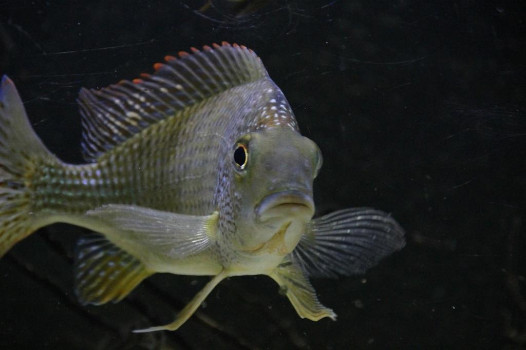 West African biotope Aquarium - 600 Liters - Página 2 Img-2233