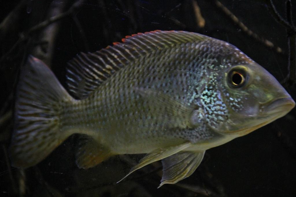 West African biotope Aquarium - 600 Liters - Página 2 Img-2234