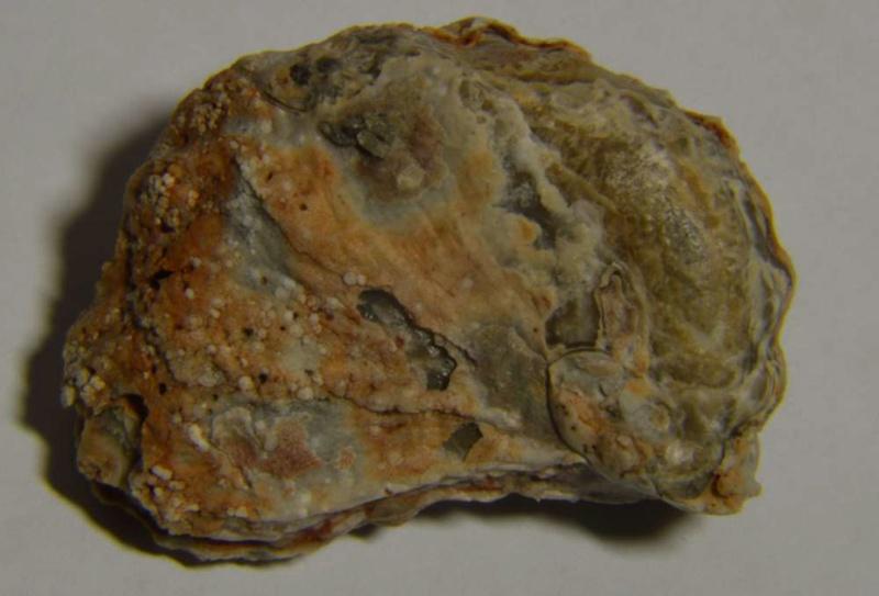 Ceratostreon pliciferum ? Dsc_0324