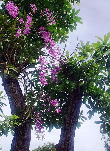 Mùa Xuân Nói Chuyện Lan Rừng Việt Nam 436px-10