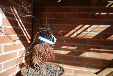 Proyecto arce palmatum butterfly Arce_p10