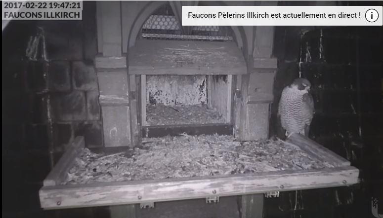 Les faucons pèlerins d'Illkirch-Graffenstaden. Flash en Valentine. 0_capt10