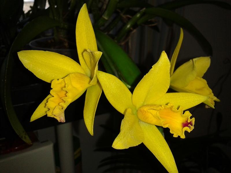 Cattleya hybride jaune - Page 2 2017-132