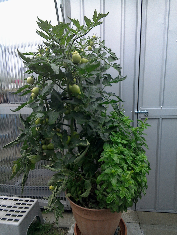 2 Tomaten in einem Topf - weniger Ertrag? Img_2080