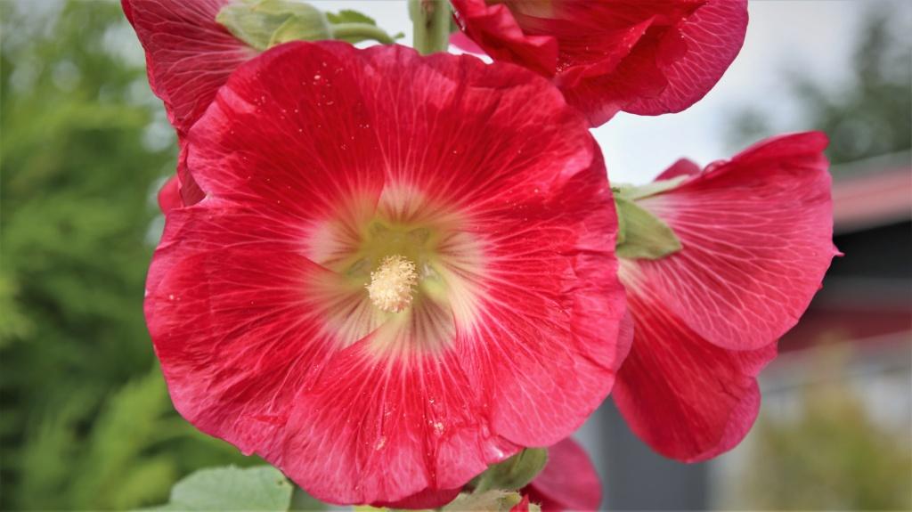 Malvengewächse - ohne Hibiscus - Seite 3 Img_2714