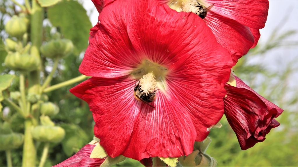 Malvengewächse - ohne Hibiscus - Seite 3 Img_2715