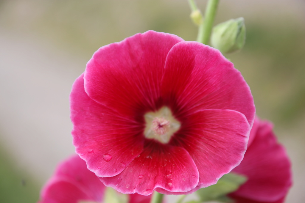 Malvengewächse - ohne Hibiscus - Seite 3 Img_2814