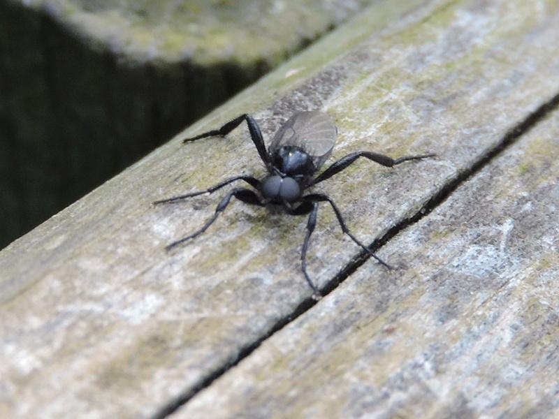 [Bibio cf. anglicus] un Scatopsidae ? Rscn1518