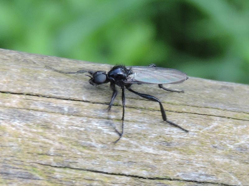 [Bibio cf. anglicus] un Scatopsidae ? Rscn1519