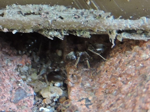 Lasius brunneus ? Rscn8015