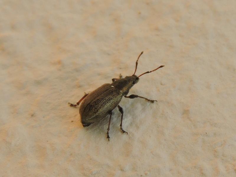 Phyllobius ? Rscn8616
