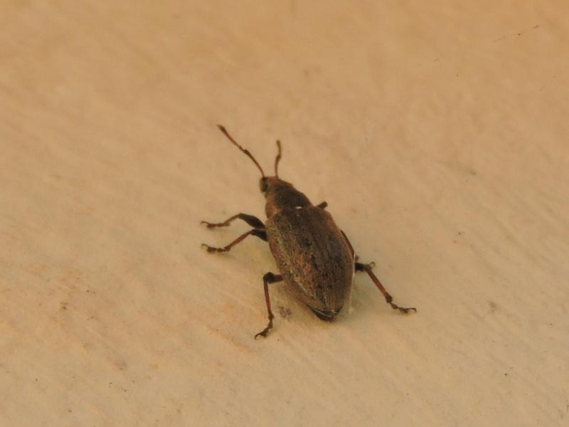Phyllobius ? Rscn8617