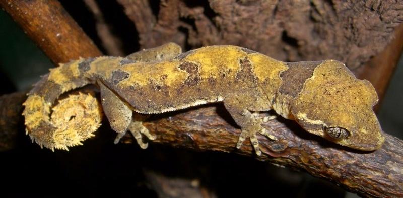 Recherche de petites espèces ! Cyrtod10