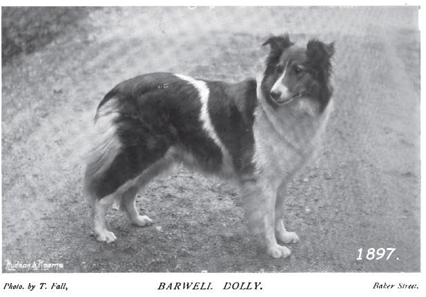 histoire des colleys et shetland sheepdogs blancs. Dolly10