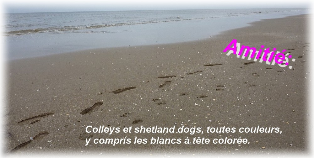 Colleys, shelties, pour le respect du chien.