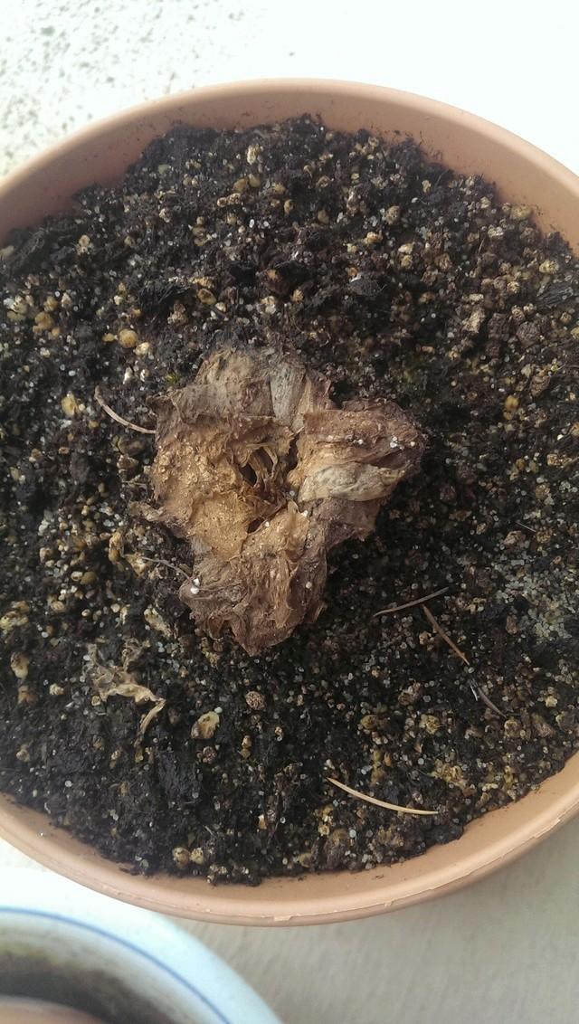 L hiver a eu raison de mes plantes Imag0211