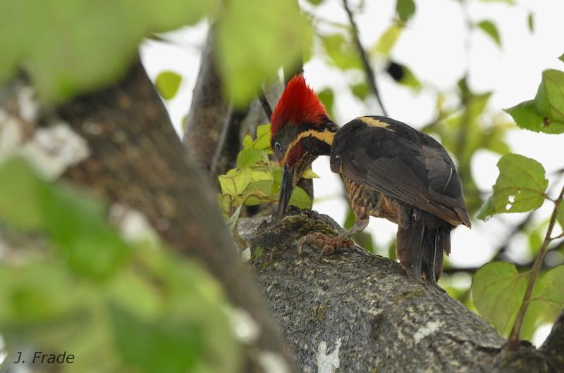 Costa Rica 2017 - Lineated woodpecker (Dryocopus lineatus) Dsc_3910