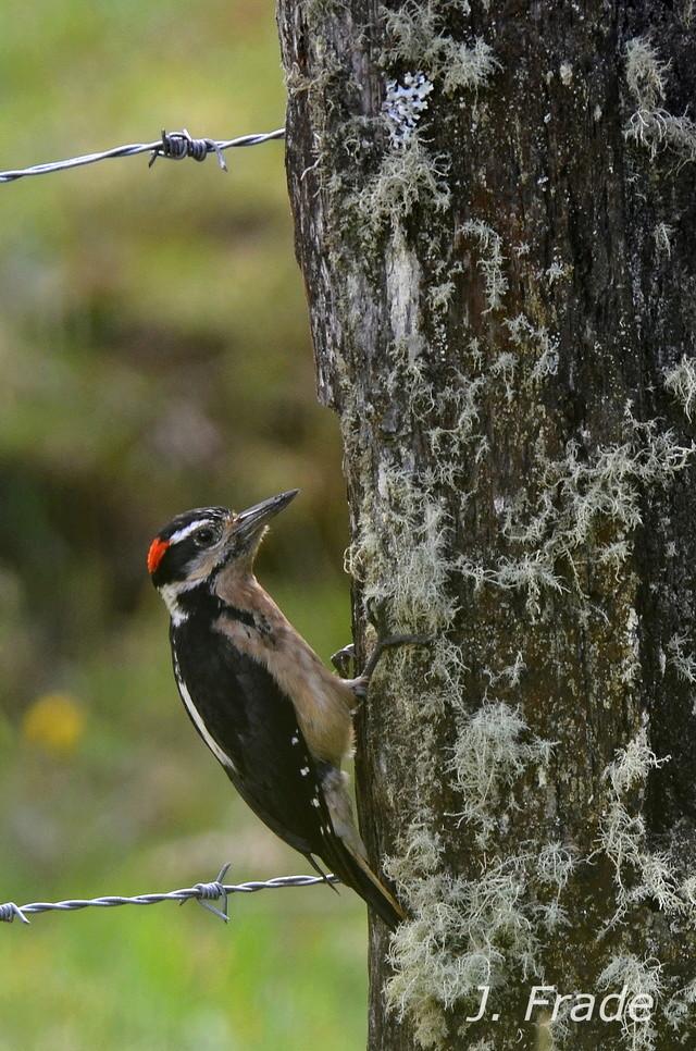 Costa Rica 2017 - Hairy Woodpecker (Picoides villosus) Dsc_4112