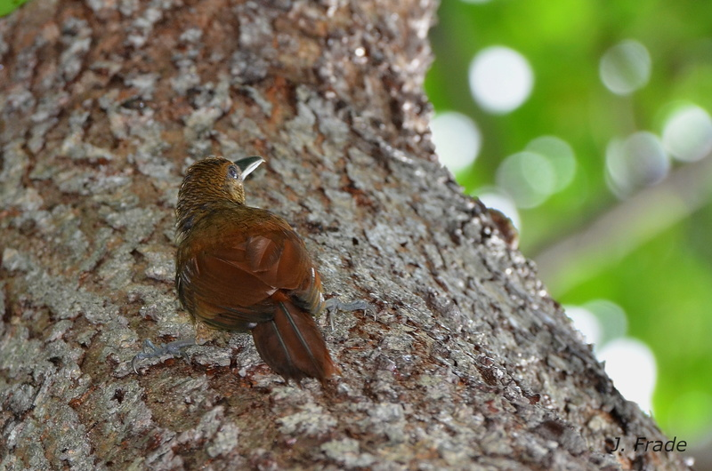 Costa Rica 2017 - Long-tailed Woodcreeper (Deconychura longicauda) Dsc_5512