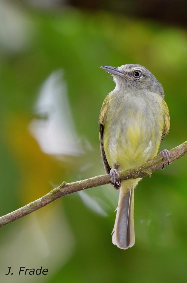 Costa Rica 2017 - Yellow-olive Flycatcher (Tolmomyias sulphurescens) Dsc_6412