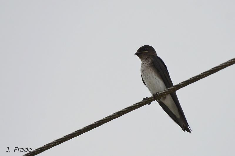 Costa Rica 2017 - Gray-breasted Martin (Progne chalybea) Dsc_6613