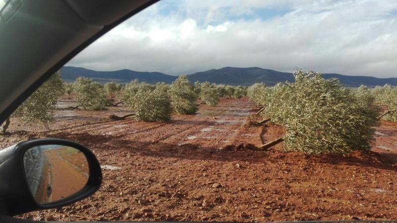 Olivos volcados Img-2012