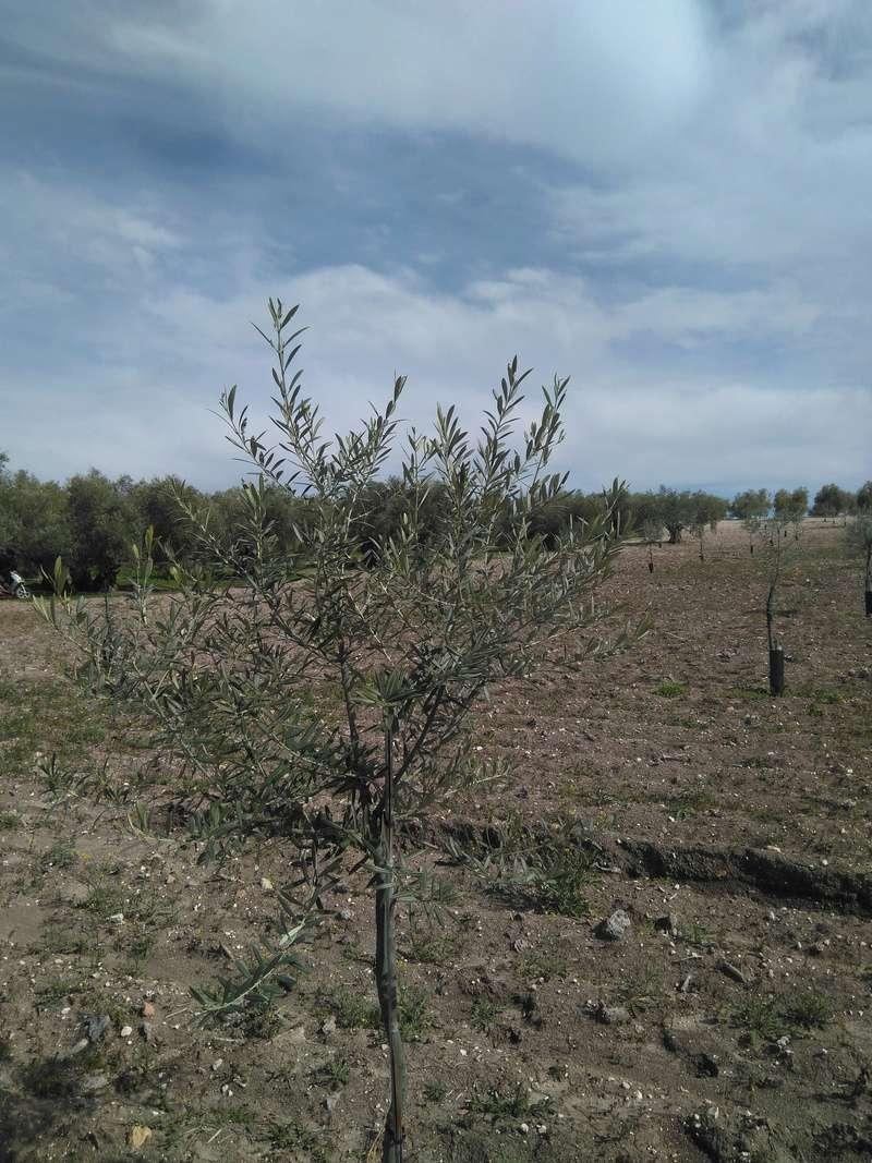 Crecimiento de plantones olivo - Página 14 Img_2041