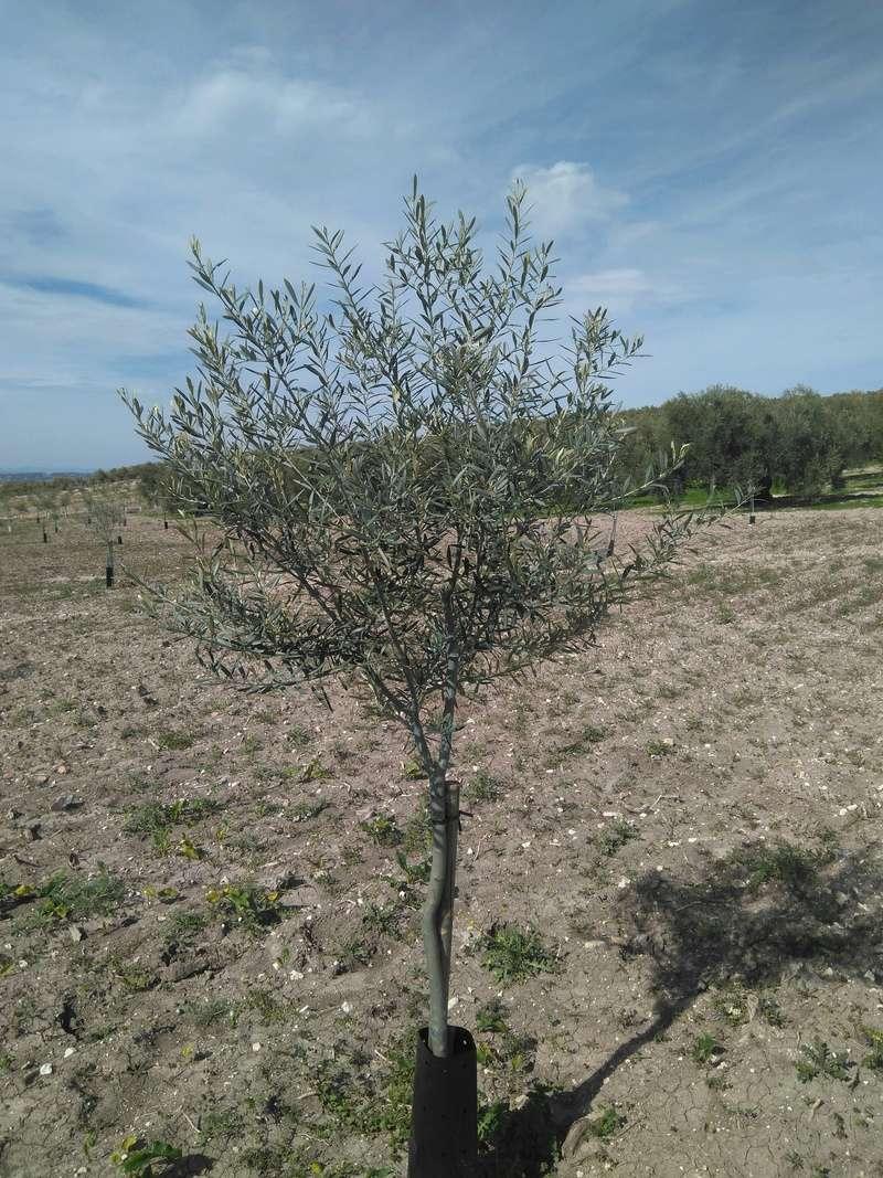 Crecimiento de plantones olivo - Página 14 Img_2042