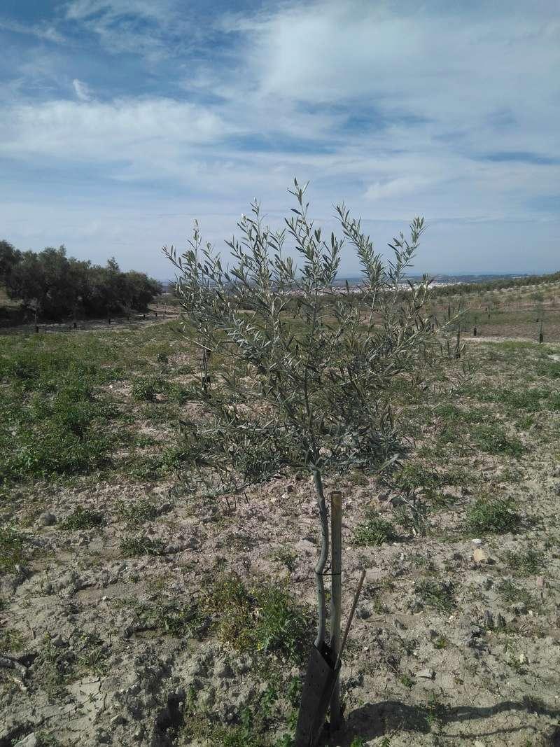 Crecimiento de plantones olivo - Página 14 Img_2043