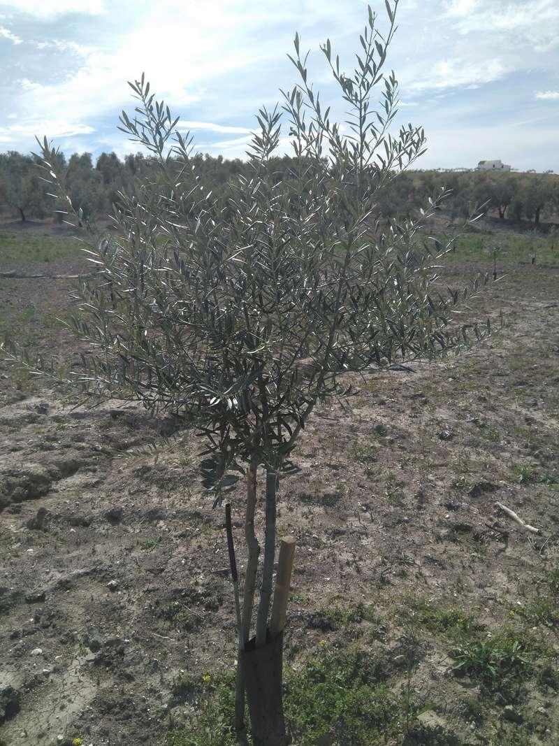 Crecimiento de plantones olivo - Página 14 Img_2044