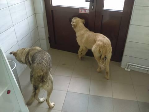 STARK superbe croisé chien loup tchécoslovaque - SERBIE 22207411