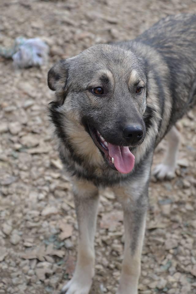 STARK superbe croisé chien loup tchécoslovaque - SERBIE 23140112