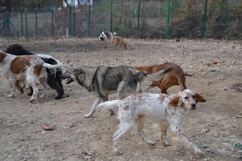 STARK superbe croisé chien loup tchécoslovaque - SERBIE 23223210