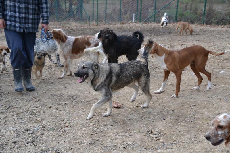 STARK superbe croisé chien loup tchécoslovaque - SERBIE 23223310