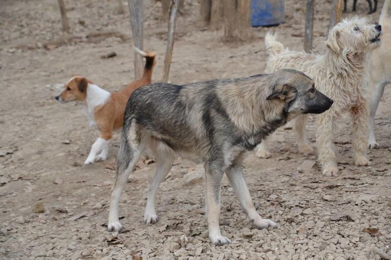 STARK superbe croisé chien loup tchécoslovaque - SERBIE 23224410