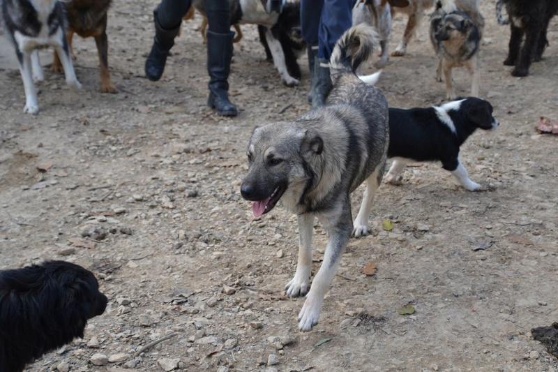 STARK superbe croisé chien loup tchécoslovaque - SERBIE 23224710